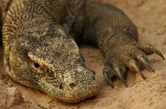 Komodo Dragon and Its Claws - Komodo, Indonesia.Young Male Komodo Dragon lying in the ground. Komodo Dragon Pictures, Reptiles, The Jersey Devil, Large Lizards, Dragon Claw, Predator, Crocodile, Claws, Creatures