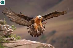 Kền kền râu Âu&Á&Phi | Bearded vulture/Lammergeyer/Lammergeier (Gypaetus barbatus)(Accipitridae) IUCN Red List of Threatened Species 3.1 : Near Threatened (NT) | (Loài sắp bị đe dọa)