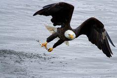 Eagle.shqiponja