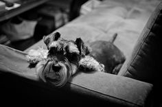Harrison by Austin #Miniature #Schnauzer