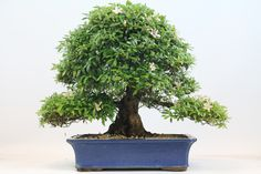 Satsuki Azalea Flowering Bonsai Tree available from All Things Bonsai, Sheffield, Yorkshire