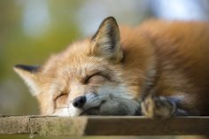 Red Fox, Zao Fox Village in Japan | OVOPACK - Ryota Murayama