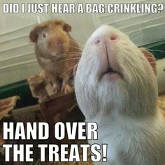 Guinea pigs, cute photo hand over the treats