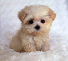 #Cute #Puppy #Dog #Animals
