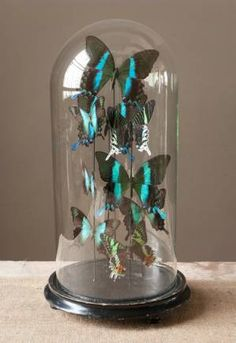 Taxidermy butterflies