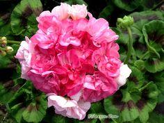 P Barbara Hines. Blommar med rosa blommor i olika nyans vid mycket sol