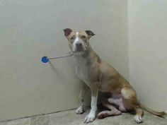 TO BE DESTROYED - 01/08/15 Brooklyn Center - P My name is MAJOR. My Animal ID # is A1024391. I am a male tan and white am pit bull ter mix. The shelter thinks I am about 2 YEARS I came in the shelter as a STRAY on 12/31/2014 from NY 11207, owner surrender reason stated was STRAY.
