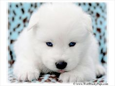 white wolf blue eyes for sale | LARGE WOOLLY SOLID WHITE BLUE EYED WOLF HYBRID PUP - $700 - Provo ...