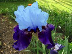 Iris Germanica Blue Bird Wine/ 60cm/ bloei 5-6/ schaduw, halfschaduw, zon