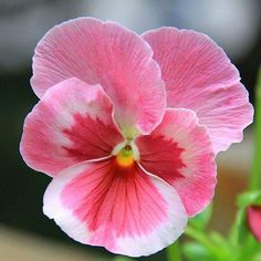 Pink Pansy Mix Color Wavy Viola Flower Seeds - Out Doors - Flowers Rare Flowers, Amazing Flowers, Pretty Flowers, Pink Flowers, Small Flowers, Beautiful Flowers Photos, Colorful Flowers, Fleur Pansy, Flower Photos