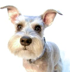 The sweet face of a beautiful white mini schnauzer and love those eyes