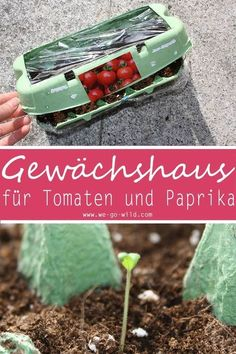 Pull tomatoes yourself in the egg box greenhouse-Greenhouse DIY window sill to pull tomatoes yourself in the apartment Tomaten selber ziehen im Eierkarton Gewächshaus -