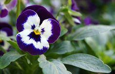 """Viola x wittrockiana: Conocida popularmente como """"pensamientos"""", se encuentran entre las preferidas para crear estupendas manchas de color en los jardines, decorar jardineras e incluso disfrutarlas como pequeñas plantas de flor de forma unitaria. - http://www.floresyplantas.net/viola-x-wittrockiana/"""