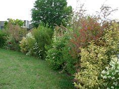 Una siepe mista. Oleandro, pitosforo, viburno, alloro... mescolare foglie chiare e scure, piccole e grandi