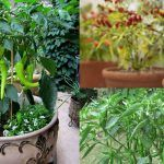 Growing Hot Peppers In Containers   How To Grow Chili Peppers In Pots