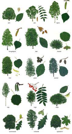 løvtrær – Store norske leksikon Botanical Illustration, Botanical Prints, Botanical Gardens, Tree Drawings Pencil, Music Drawings, Tree Leaves, Plant Leaves, Leaf Identification, Conifer Trees