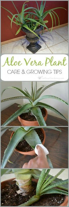 Aloe Vera Plant Care: The Ultimate Guide For How To Grow Aloe Vera Aloe vera is a very popular plant that is best known for the healing qualities of the gel. Given the proper aloe vera plant care, these amazing plants can live for many years. Succulents Garden, Garden Plants, Planting Flowers, Porch Plants, Flowering Plants, Container Gardening, Gardening Tips, Indoor Gardening, Organic Gardening