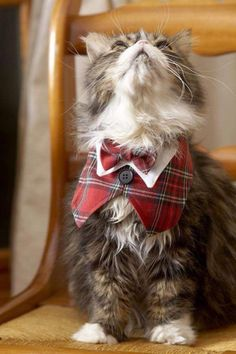 Pretty CATS (ᵔᴥᵔ) Alex the Tabby Persian is ready for dinner in his tartan plaid vest and tie. Crazy Cat Lady, Crazy Cats, Cute Cats, Funny Cats, Cat Dressed Up, Tartan Christmas, Christmas Colors, Christmas Images, Christmas Cards