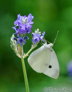 White Butterfly Photo & Lavender Flowers Nature Photography 5x7 Fine Art Print. $15.00, via Etsy.
