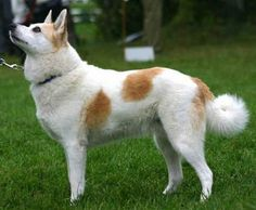 The Norrbottenspets is a breed of dog of the spitz type. It is an ancient breed whose original purpose was a farm and hunting dog but has recently became more popular as a companion dog. The Norrbottenspets is used to hunt wood grouse, black grouse, capercaillie and hazel grouse, but also fox, marten and raccoon. Some individuals are also effective with mammals as large as moose and grizzly bear.