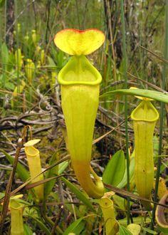 Nepenthes madagascariensis est une espèce de plante carnivore originaire de Madagascar d'où elle tire son nom