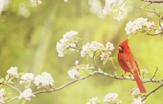 The red cardinal is a notable spiritual messenger. Many believe that a red cardinal sighting is a sign that the Spirit seeks to connect on the Earth plane.