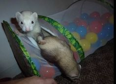Diy ball pit for ferrets. Both of the items can definitely wv second hand, they just need cleaned. Ferret Toys, Pet Ferret, Rat Toys, Pet Rats, Ferrets Care, Baby Ferrets, Cute Ferrets, Animals And Pets, Cute Animals