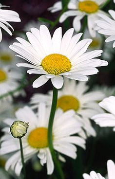 Daisies, my favorite flower. Skip the roses, stop on the side of the road and pick a bouquet for me.