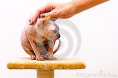 Sphynx cat breed, friend hand caress comfort, isolated white background. Sphinx Cat, Cat Breeds, Lion Sculpture, Stock Photos, Statue, Cats, Animals, Image, Cat