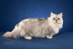 Minuet Longhair Cat Breed (Napoleon Longhair Cat)
