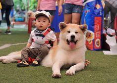 Kết quả hình ảnh cho chó akita inu