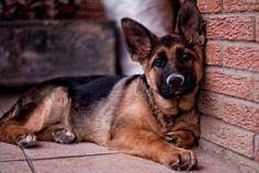 Awesome German Shepherd Photographs
