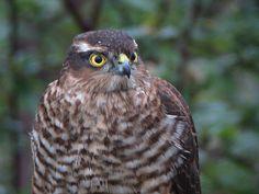 Juvenile Sparrowhawk (Shay Connolly)