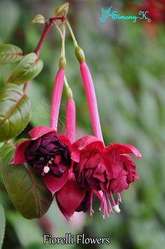 5 x Fuchsia Jardin News vertical large PLUG plantes Pré Commande