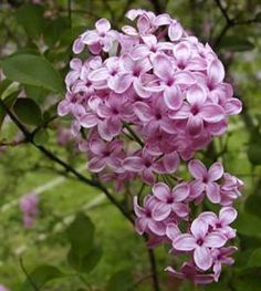 Lilac planting and care. I am definitely growing lilacs; white especially, as well as lavender.