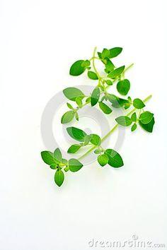 Fresh oregano leaves  on white background Herbs, Stock Photos, Fresh, Sweet, Plants, Image, Herb, Flora