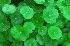Centella asiatica, planta care iti tine venele sanatoase. Proprietati terapeutice, contraindicatii si efecte adverse