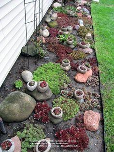 Sempervivum and Jovibarba forum: Semp Gardens & Raised Beds (All Things Plants)