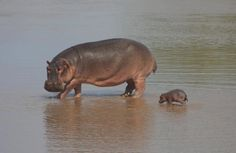 Hippopotamus with a little cute baby hippo Nature Animals, Animals And Pets, Animals Images, Wild Animals, Cute Baby Animals, Funny Animals, Cute Hippo, Tier Fotos, African Animals