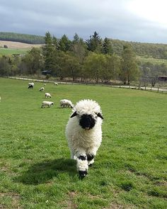 These sheep are a special breed, called the Valaise Blacknose Sheep. These unique sheep are reared for their white wool and originated in Switzerland. What set them apart from a common sheep? Baby Sheep, Cute Sheep, Sheep Farm, Farm Animals, Animals And Pets, Wild Animals, Valais Blacknose Sheep, Lamas, Sheep Breeds