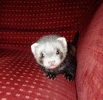 baby ferret... need a ferret.  Think it would be a GREAT friend for Joe..... hmmmmmmm.......