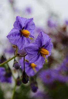 Poisonous flowers! Solanum, Deadly Night Shade, Potato family. Green potatoes are also poisonous,