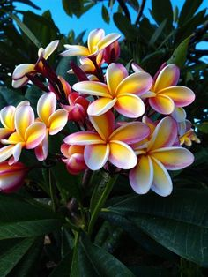 Beautiful plumeria tree in Ewa Beach Hawaii. These grew in our yard - in fact they grew everywhere. We made leis out of these. Tropical Flowers, Hawaii Flowers, Tropical Garden, Exotic Flowers, Purple Flowers, Plumeria Tree, Plumeria Flowers, Plumeria Flower Tattoos, Lilies Flowers