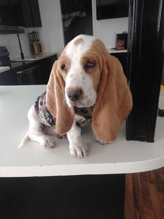 Basset Coconut Hound Puppies, Basset Hound Puppy, Cute Puppies, Bloodhound Dogs, Beagles, Pet Remembrance, Bassett Hound, Cute Photography, Dog Rules