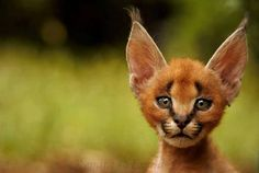 Funny Wildlife, Adorable Caracal Cub by Renata Ewald Caracal Kittens, Cats And Kittens, Baby Caracal, Baby Bobcat, Beautiful Cats, Animals Beautiful, Big Cats, Cute Cats, Crazy Cats