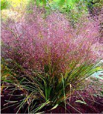 agrostis_spectabilis.- Caduc - floraison de sept à février