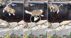 Hilariante Momento Em Que Gato Esforça-se Por Apanhar Peixes Em Lago Congelado