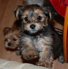 My latest obsession: Shorkie puppies!!! And I don't even like small dogs!