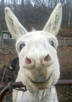 this is not a normal donkey. this is THE donkey Smiling Animals, Happy Animals, Farm Animals, Animals And Pets, Funny Animals, Cute Animals, Beautiful Creatures, Animals Beautiful, Photo Chat