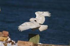 snowy owl wearing a CTT tracker
